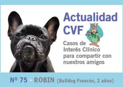 Caudectomía bulldog francés («rabo en sacacorchos»)